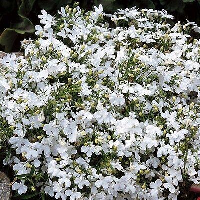 FLOWER LOBELIA WHITE LADY 0.4 GRAM ~ APPROX 12,000 FLOWER SEEDS