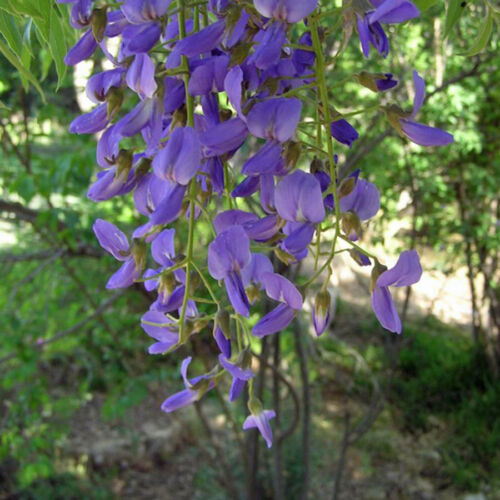 Bolusanthus speciosus 10 Seeds Tree wisteria Elephant Wood Rare Seeds From Thai