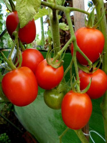 De Berao gute alte Sorte rote Tomate hochwachsend sehr krankheitsresisten 15Korn