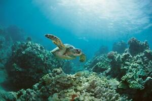 Sea-Turtle-Swimming-Near-Coral-Reef-Photo-Art-Print-Poster-24x36-inch