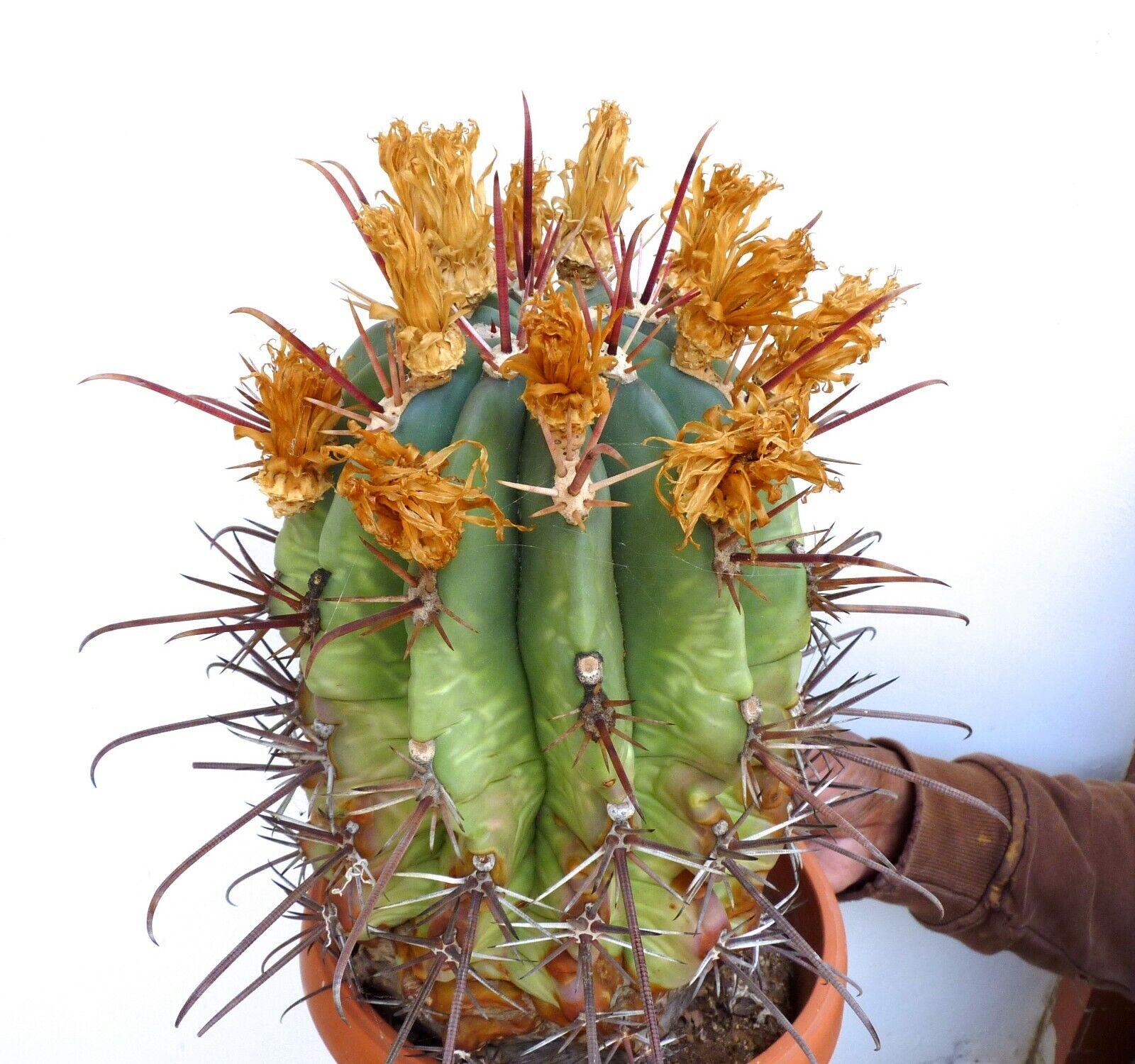 BIGGGG Ferocactus potzii X Ferocactus rectispinus      28x17 no crested 19AH