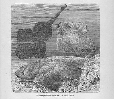 Professioneller Verkauf Meerengel Engelhai Squatina Squatina Haie Holzstich Von 1892 Sägehai Fische