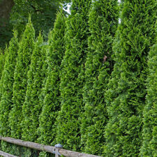 100pcs Siberia Cypress Seeds Home Garden Ornamental Conifer Lovely Decor