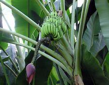 🍌 5 GRAINES DE BANANIER PLANTAIN (Musa balbisiana) SEEDS SAMEN SEMILLAS