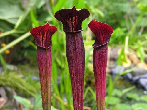 Carnivore sarracenia alata collection 5 plantes nommé emplacement