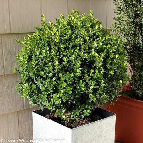 Evergreen Sprinter Boxwood Buxus Live Garden Ornamental Shrub Green Foliage