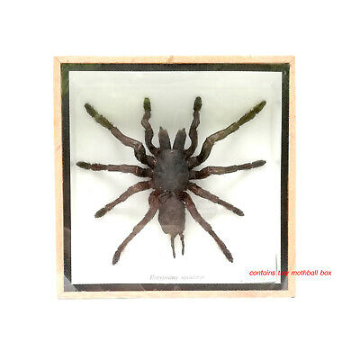 Taxidermy Real Tarantula Spider Framed Display Taxidermy Entomology Arachnid