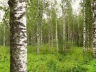 500 Semillas de Abedul, Betula pendula alba, Semillas, Abedul blanco,