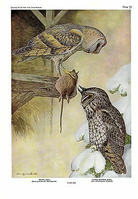"2 OWLS/"" Color Plate Lithograph 1936 Vintage FUERTES BIRDS #53 /""BARN OWL w//MOUSE"
