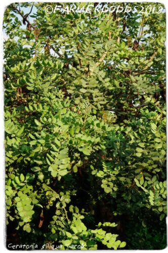 """25 graines EX. Olbia, Sardaigne Ceratonia siliqua /""""caroube/"""""""