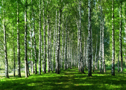 -Bäume Blüten Grüne-Natur Blätter Blumen XXL VLIES Fototapete-BIRKEN-WALD- 2738V
