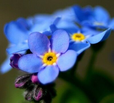 500 Blue CHINESE FORGET ME NOT Flower Seeds + Free Gift