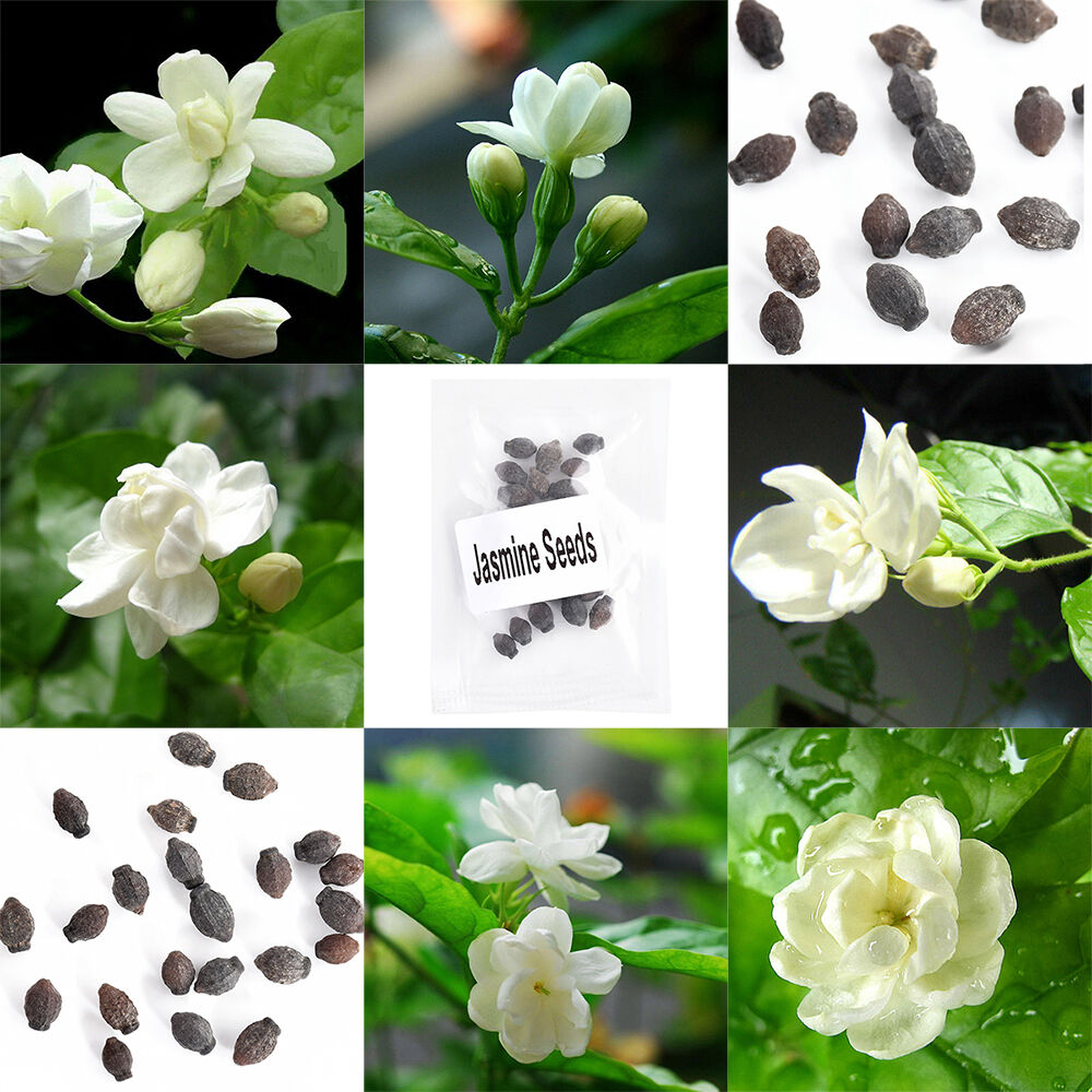 20pcs Pure White Jasmine Plant Perennial Flowers Seeds Home Garden