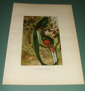 1885-Original-Chromolithograph-Resplendent-Trogon-Louis-Prang-amp-Co