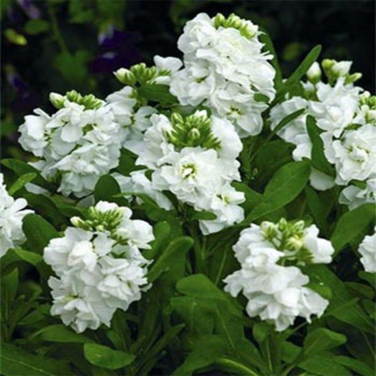 Stock- Matthiola Incana- White - 50 Seeds- BOGO 50% off SALE