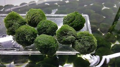10x 3-4cm 1.5/'/' Marimo Moss Balls Live Plant Aquarium Plant
