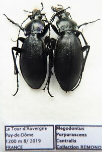 Carabus megodontus purpurascens centralis (Pair A1) from FRANCE