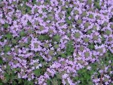 1000 GARDEN THYME English French Winter Herb Seeds