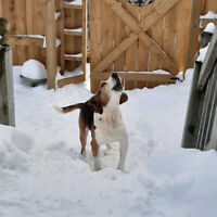 Beagle Puppy Adopt Dogs Puppies Locally In Ontario Kijiji
