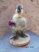 Taxidermy Duckling*Genuine Taxidermy*Cute gift*UK