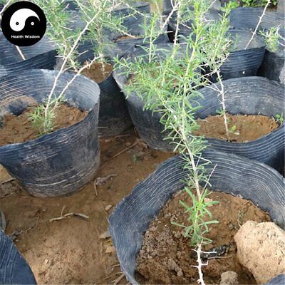 Buy Black Goji Berry Tree Seeds Plant Black Wolfberry For Black