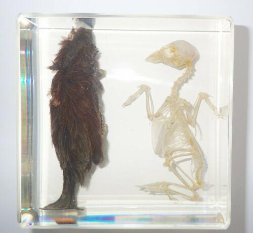 BIRD and BIRD SKELETON Set Eurasian Tree Sparrow Clear Education Animal Specimen