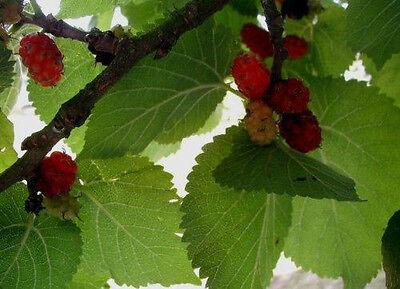 leckere essbare Früchte Morus alba winterhart 200 Samen Weißer Maulbeerbaum