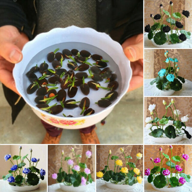 Japanese Bowl Lotus Flowers Seed Water Lily Aquatic Hydroponic Plants Seed 5 Pcs