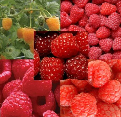 ALL SEASONS 25X MIXED LARGE RASPBERRY CANE FRUIT PLANT SELECTION