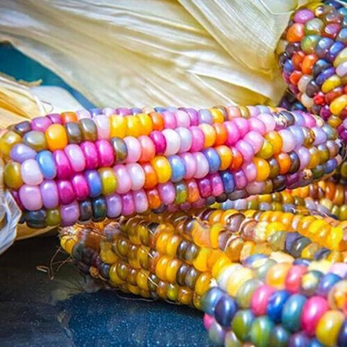 EB/_ 40Pcs Rainbow Corn Seeds Delicious GLASS GEM Corn Garden Yard Vegetable Seed