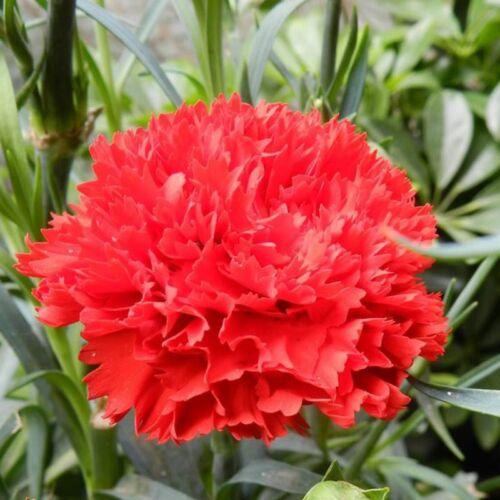 30 Carnation Seed Dianthus CaryophyIIus Beautiful Garden Flower Seeds