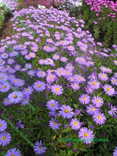 POTTED 1 LITRE ASTER PROFESSOR ANTON KIPPENBERG MICHAELMAS DAISY PERENNIAL PLANT