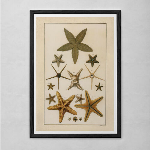 Professional Reproduction VINTAGE STARFISH PRINT Antique Starfish Diagram N