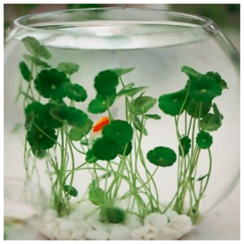 3 Water Gotu-Kola Hydrocotyle Creeping Pond Floating Floating Herb Living Plant