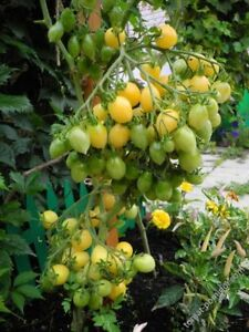 Barry-039-s-Crazy-Cherry-Tomate-Tomato-10-Samen-Saatgut-Seeds-Gemuesesamen