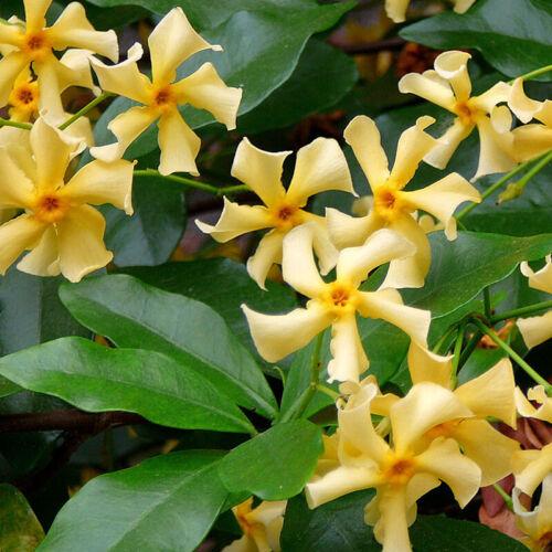 Yellow Star Jasmine /'Star of Toscana/' 2.5L cane/1m evergreen climber