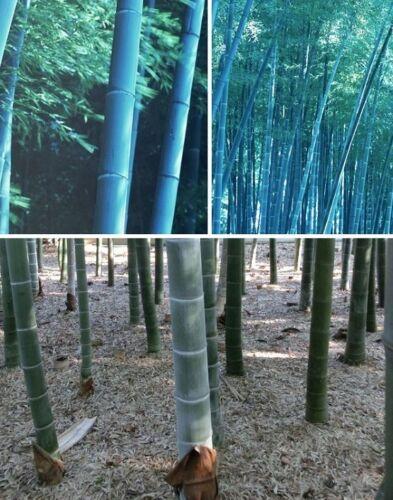 blauer winterharter Gartenbambus Bambus für draußen Fargesia papyrifera Samen
