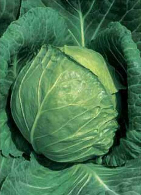 LATE FLAT DUTCH CABBAGE SEEDS * 10 INCH GREEN GLOBE * EXCELLENT KEEPER * 150/PKT
