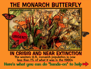"The Endangered Monarch Butterfly, by ""PostcardsToSaveThePlanet"""
