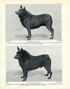SCHIPPERKE FOUR NAMED DOGS OLD ORIGINAL DOG PRINT FROM 1934