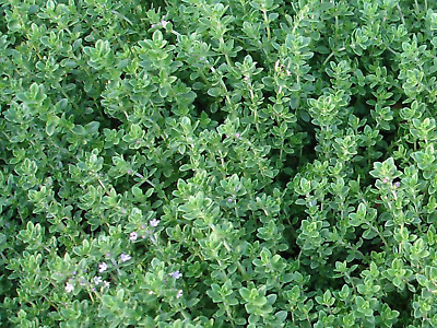 THYME SEEDS (APPROX 200 SEEDS)