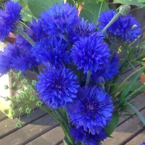 Cornflower Blue Ball - Centaurea Cyanus - Appx 1000 seeds - Annual