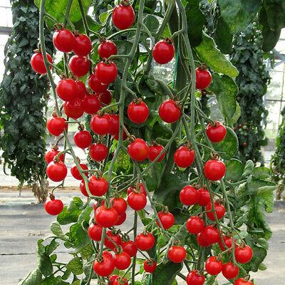 Gourmet Tomate-Bite Size 10 graines