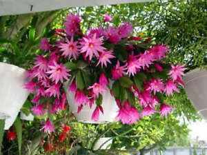 2-rare-Pink-Easter-Spring-Cactus-Plant-rooted-cutting-Epiphyllum-Succulent-Hoya