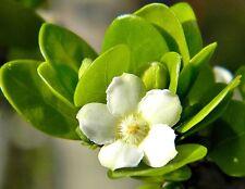 FLORIDA NATIVE White Indigoberry, randia aculeata indigo berry seed -50 seeds