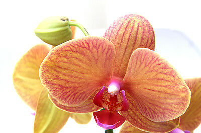 Phalaenopsis Golden Treasure Orchid  UK seller Plants indoor