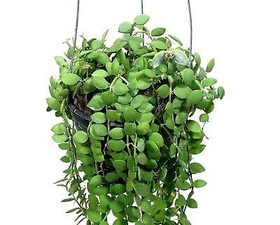 """Dischidia Nummularia For Sales 1 POT 4/""""  Plant Live Houseplants"""