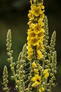Garten-Pflanzen-Samen-winterharte-Zierpflanze-Saatgut-Staude-Blume-KONIGSKERZE