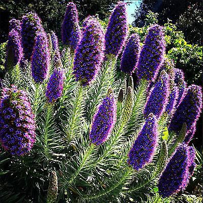 40 Samen Madeira Natternkopf - Echium candicans - Bienen - Schmetterlinge