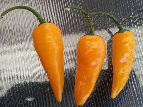 Very RARE & Hot Thai Yellow/Orange Chilli, Heavy Yield - 10 Seeds